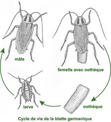 que mange les blattes
